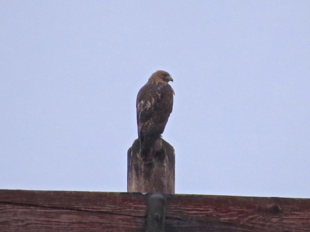 Ginger Hawk