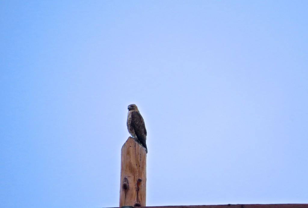 Hawk Aura