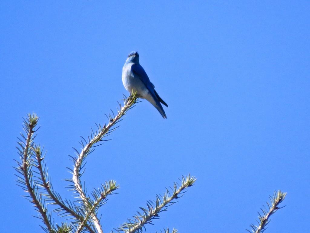 Blue Avian