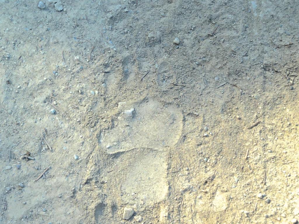 Bear Print in Dust