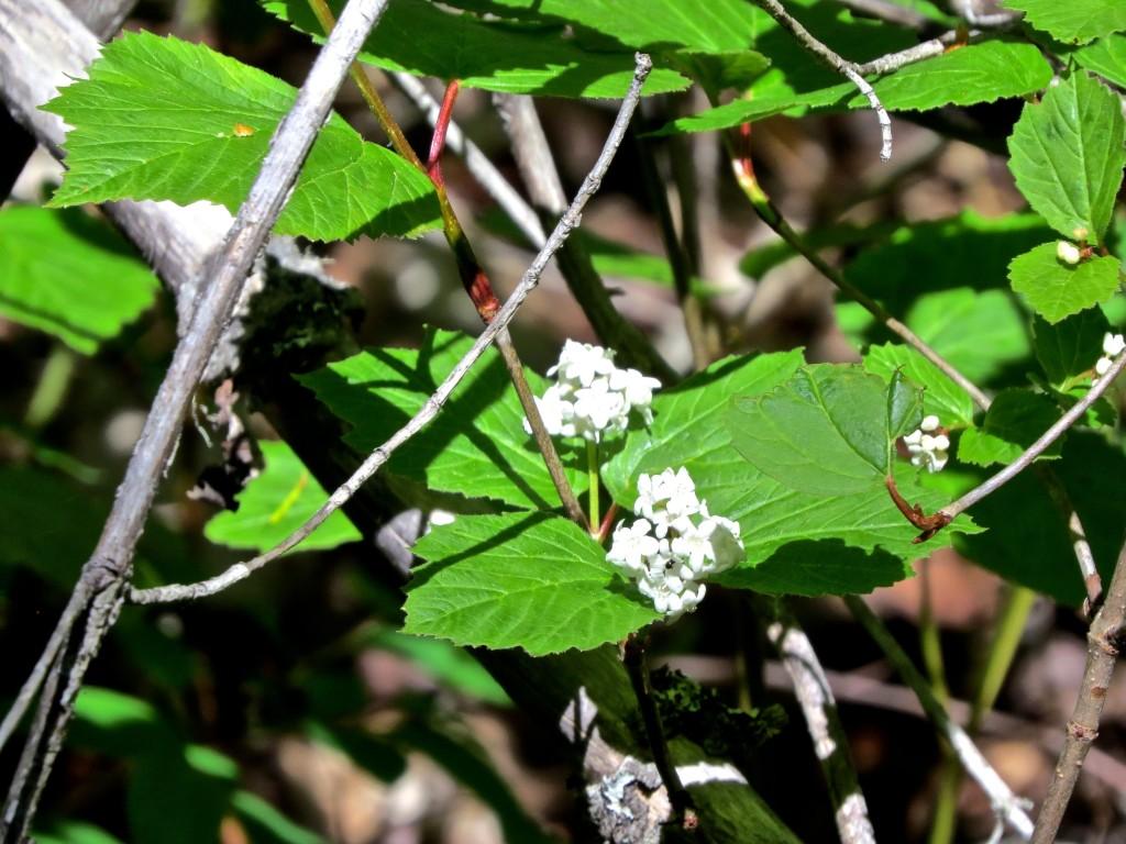 High Bush Cranberry Florets