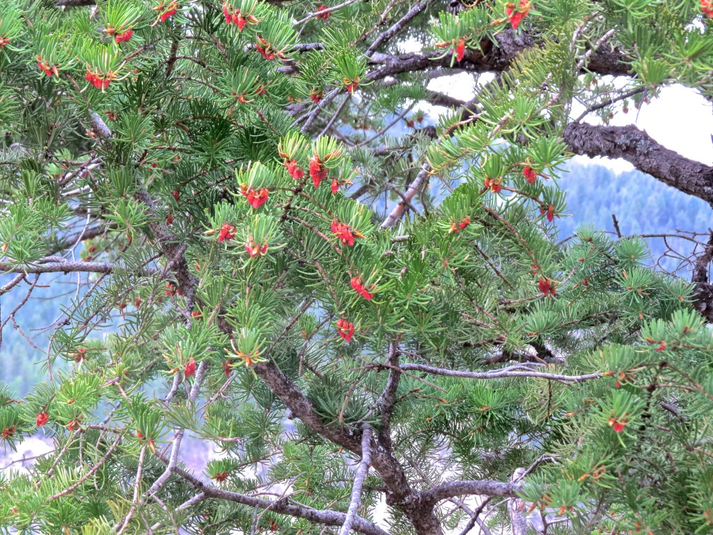 Pollen Cones on a Fir Tree
