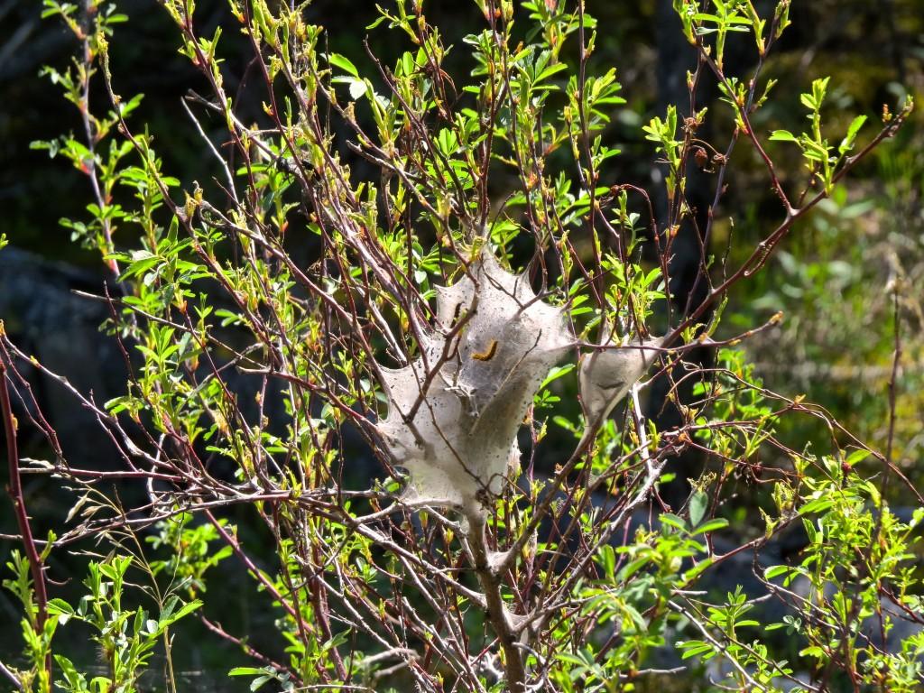 Wild Rose Tenting