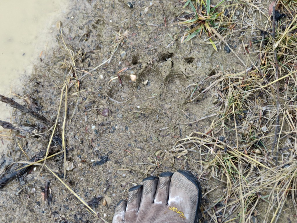 Front Foot with Short Claws (Black Bear)